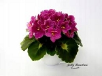 African Violet Jolly Bambino Miniature