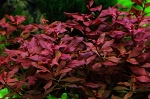 AQ Ludwigia Super Red bunch aquatic plant