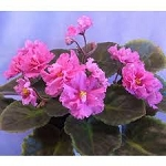 African Violet Russian Neon Carnation 2 leaves