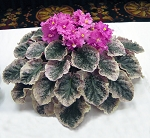 African Violet Ness Candy Pink 2 leaves