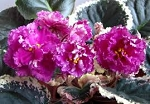African Violet Rebel's Restless Heart 2 leaves