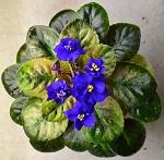 African Violet Rob's Zoot Suit pair of leaves