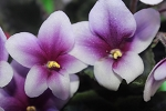 African Violet  Ace of Clubs leaf Pot