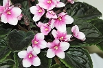 African Violet Ace of Diamonds pair of leaves