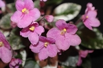 African Violet Snuggles, variegated semi miniature 2 leaves vintage