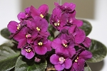 African Violet Jolly Prince semiminiature set of 2 leaves