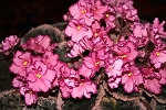 African Violet Buckeye Cherry Topping 2 leaves