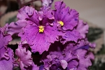 African Violet Buckeye Country Gal  blooming size plant
