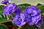 African Violet Blue Dragon pair of leaves
