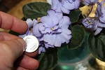 African Violet Blue Eyed Russia set of 2 leaves