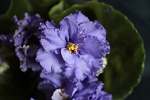 African Violet Russian Blue Whale  Sinni Kit Leaf Pot