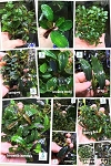 Bucephalandra assorted plants