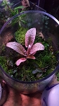 Aquatic  Cryptocoryne Flamingo