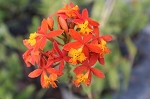 Epidendrum radicans orange ground orchid rooted cutting