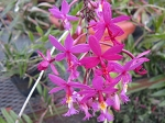 Epidendrum radicans purple rooted cutting
