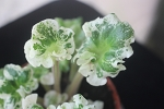 African Violet Harmony's Very Berry 2 variegated girl leaves