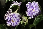 African Violet Russian Blue Mist Gopluboi Tuman  2 Leaves