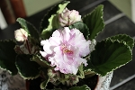 African Violet Plant Harmony's Cool Cat 2 leaves
