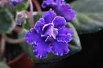 African Violet Buckeye Party Streamers Leaf pot