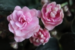 African Violet Cajun's Roses Anyone pair of leaves