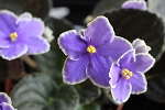 African Violet Carolina Arosia 2 leaves