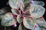 African Violet Rob's Hallucination semiminiature Leaf Pot
