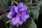 African Violet Tulsa Boy pair of leaves