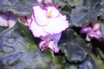 African Violet Raspberry Crisp Pair of leaves