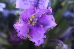 African violet Pretty Poison pair of leaves