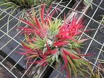 Tillandsia ionantha 6 different clones  with shipping included