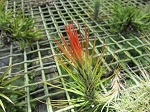 Tillandsia funkiana multiple plant with more than 2 plantlets