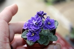 African Violet Blue Blazes miniature leaf pot