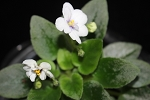 African Violet Jolly Fun 2 leaves
