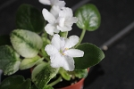 African Violet Russian N. Robinson miniature 2 leaves
