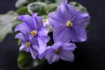African Violet Cajun's Grand Duchess Set of 2 leaves