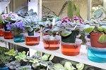 African Violet Noids  15 different Standard leaves plus pots & soil