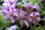 African Violet Lyon's Crown Jewel Chimera plant
