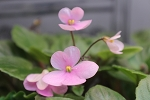 African violet Pixie Pink miniature Trailer  2 leaves