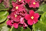 African Violet Spanish Dancer  LE Ispanskii Tanets Russian 2 leaves
