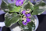 African Violet Deadly Sting set of 2 leaves