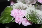 African Violet Rose Bouquet  pair of leaves