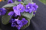 African Violet The King, classic vintage Leaf Pot