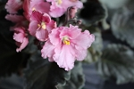 African Violet Russian  Raphael pair of leaves