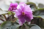 African Violet Jersey Rose Trail, semiminiature trailer  2 leaves