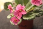 African Violet plant Jolly Joy miniature leaf pot