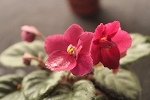 African Violet Lucky Ladybug semiminiature 2 leaves