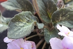African Violet Genetic Blush Leaf Pot