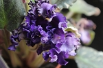 African Violet Apache Blanket blooming size plant