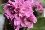 African Violet Russian Ice Rose 4
