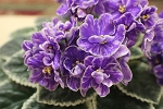 African Violet Patent Pending variegated 2 leaves